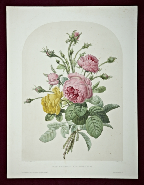 "A HAND-COLORED LITHOGRAPH, ""ROSES MOUSSEUSES, ROSE JAUNE-SONFRE."""