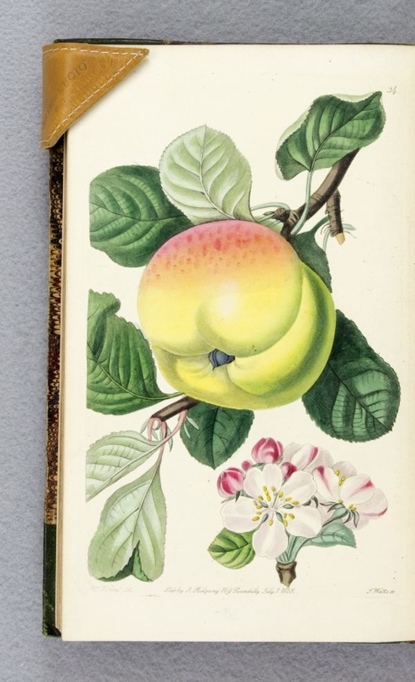 POMOLOGIA BRITANNICA; OR, FIGURES AND DESCRIPTIONS OF THE MOST IMPORTANT VARIETIES OF FRUIT CULTIVATED IN GREAT BRITAIN. JOHN LINDLEY.