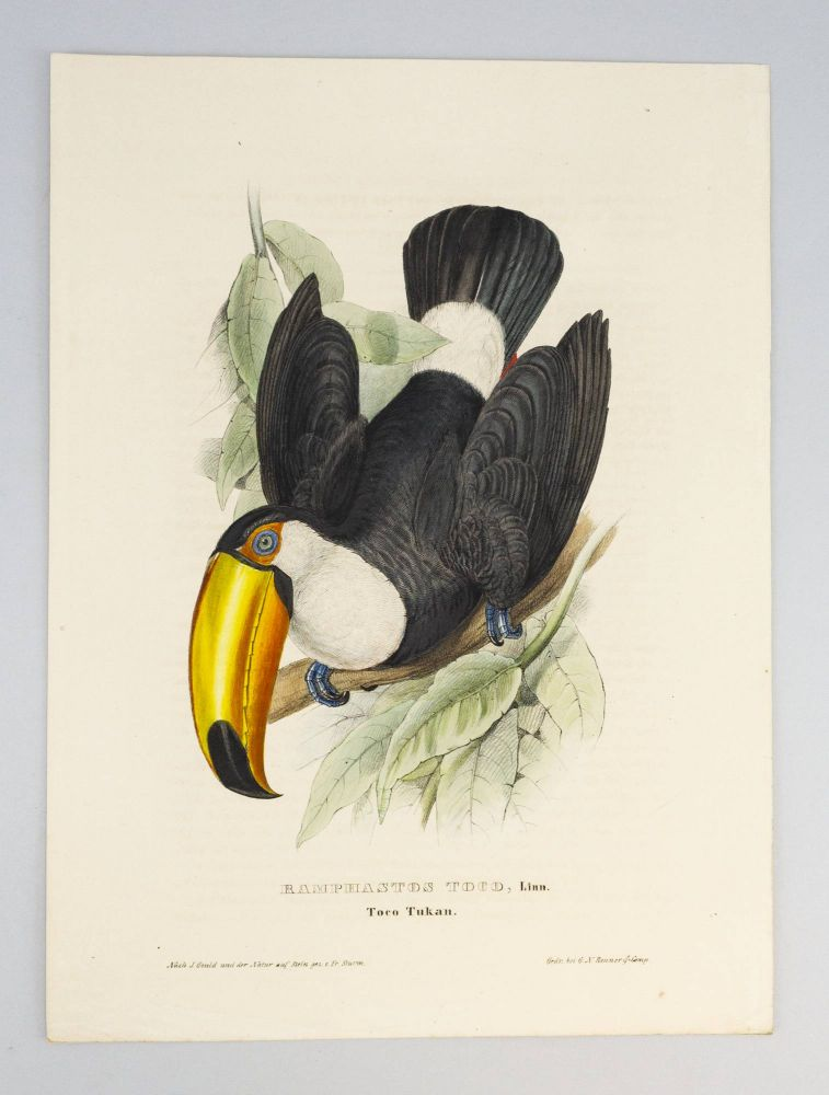 MONOGRAPHIE DER RAMPHASTIDEN ODER TUKANARTIGEN VOEGEL. [MONOGRAPH OF THE RAMPHASTIDAE, OR FAMILY OF TOUCANS]. ORNITHOLOGY, JOHN GOULD, COLOR PLATE BOOKS.