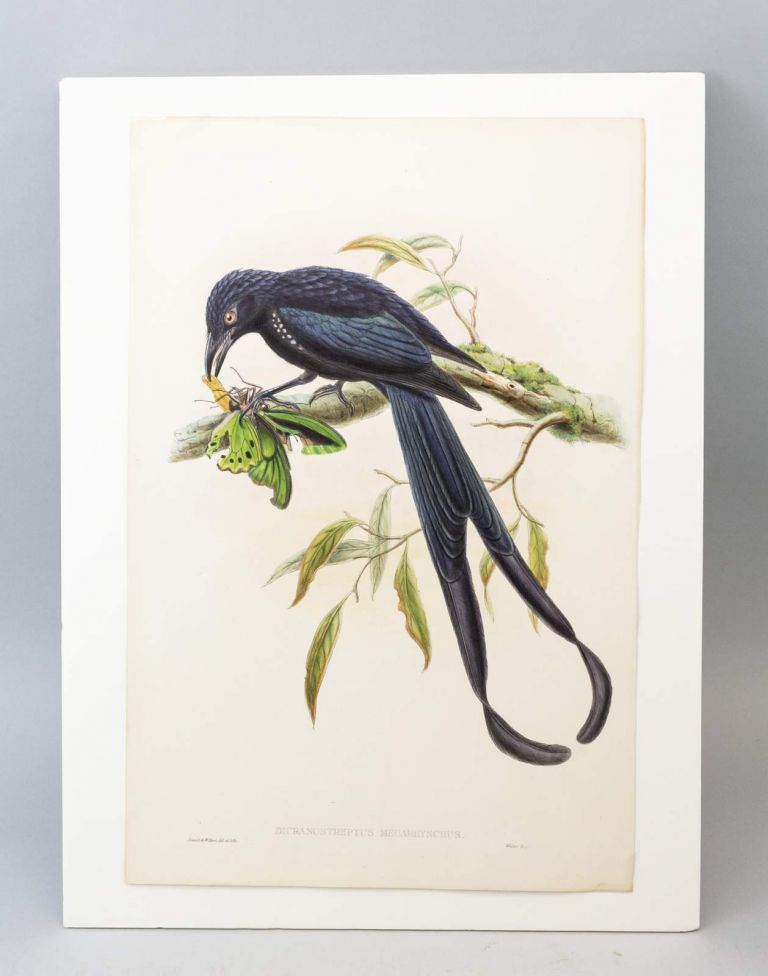 "FROM ""A MONOGRAPH OF THE TROCHILIDAE, OR FAMILY OF HUMMINGBIRDS"" AND ""BIRDS OF NEW GUINEA."" JOHN. ORIGINAL HAND PAINTED LITHOGRAPHS GOULD, OFFERED INDIVIDUALLY."