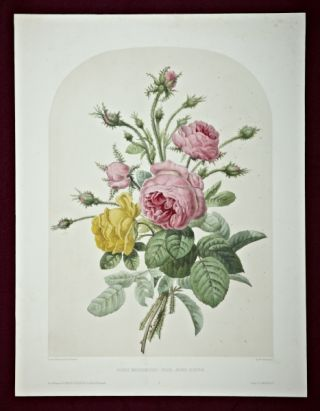"A HAND-COLORED LITHOGRAPH, ""ROSES MOUSSEUSES, ROSE JAUNE-SONFRE."" PIERRE-JOSEPH REDOUT&Eacute"